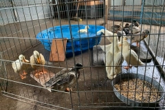 flspca-rescue-ducks